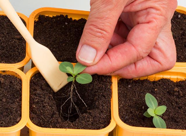 Эустома: выращивание из семян, когда сажать на рассаду