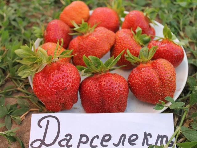 Клубника Дарселект: описание сорта, фото, отзывы садоводов