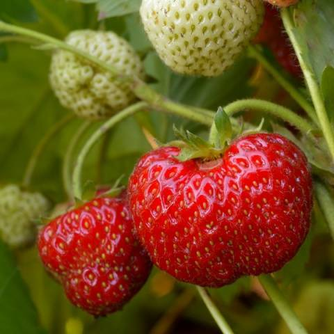 Клубника Зенга Зенгана: описание сорта, фото, отзывы садоводов