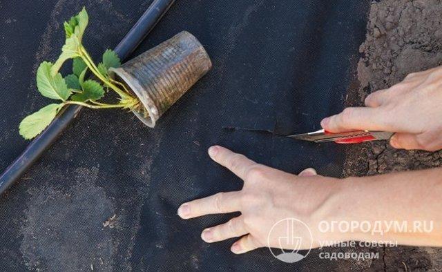 Клубника Корона: описание сорта, фото, отзывы садоводов