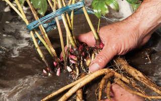 Пересадка пионов осенью на другое место: уход, подготовка к зиме, обрезка, подкормка