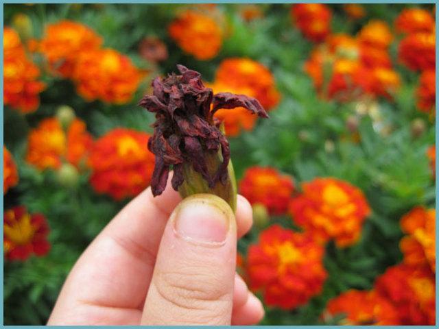 Как собрать семена бархатцев: правила сбора и хранения в домашних условиях