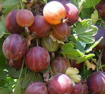 Крыжовник Черносливовый: описание сорта, фото, отзывы садоводов