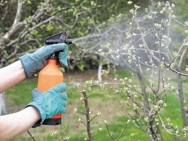 Болезни груши оранжевые (желтые, ржавые, рыжие) пятна на листьях: наросты, что делать и как лечить ржавчину