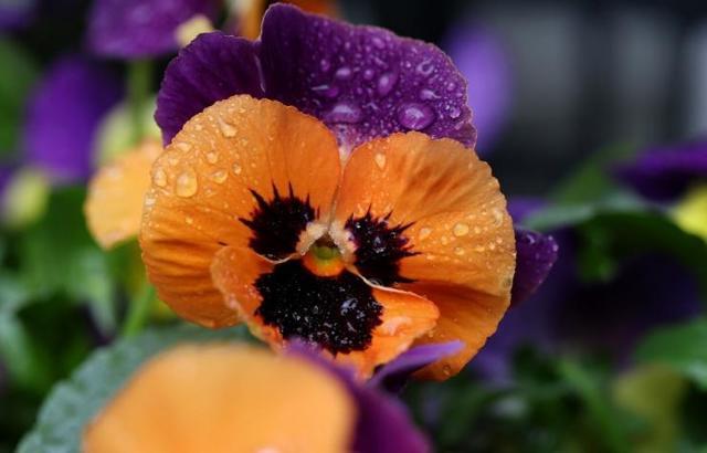 Анютины глазки — выращивание из семян: когда сажать на рассаду