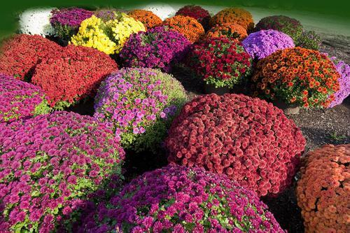 Цветущие многолетники для клумбы
