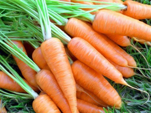 Морковь кормовая