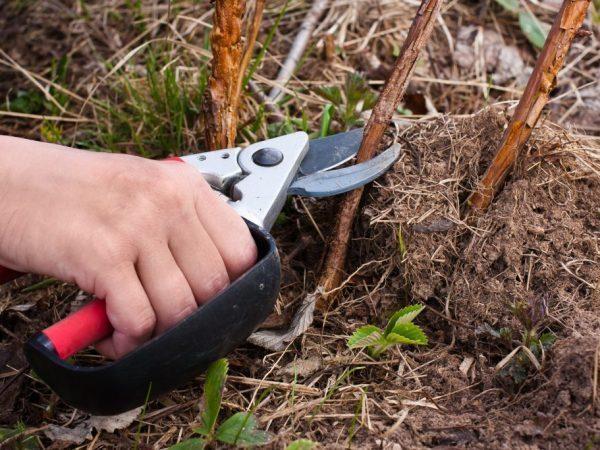 Обрезка ремонтантной малины осенью для начинающих: схема, уход, видео