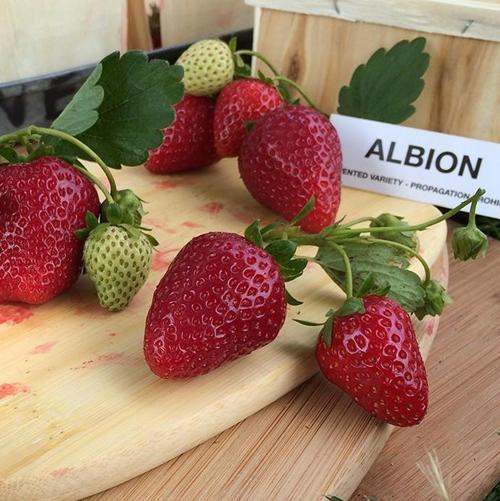 Клубника Альбион: описание сорта, фото, отзывы