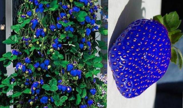 Синяя клубника + фото