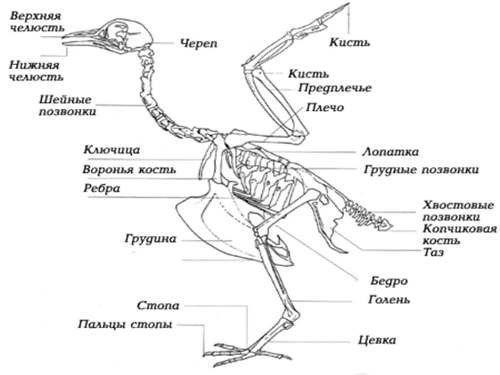 Болезни ног у кур и их лечение: фото