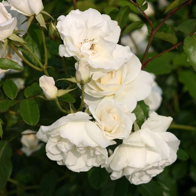 Роза плетистая Айсберг Клайминг: отзывы, фото, описание