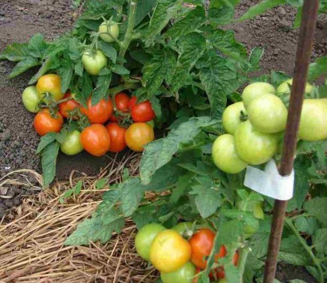 Лучшие томаты раннеспелых сортов