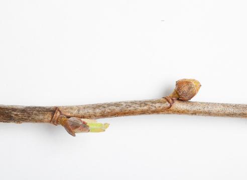Почковый клещ смородины и борьба с ним: как избавиться народными средствами и препаратами, устойчивые сорта