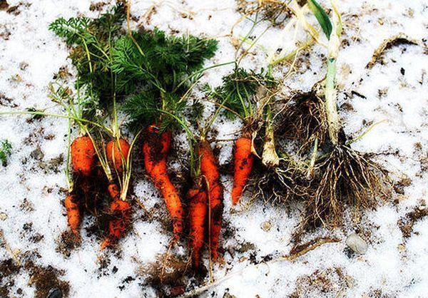 Выращивание маленькой моркови