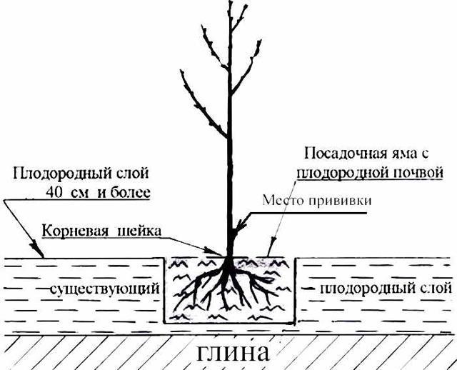 Черешня Ленинградская черная: описание сорта, фото, отзывы, опылители, посадка и уход