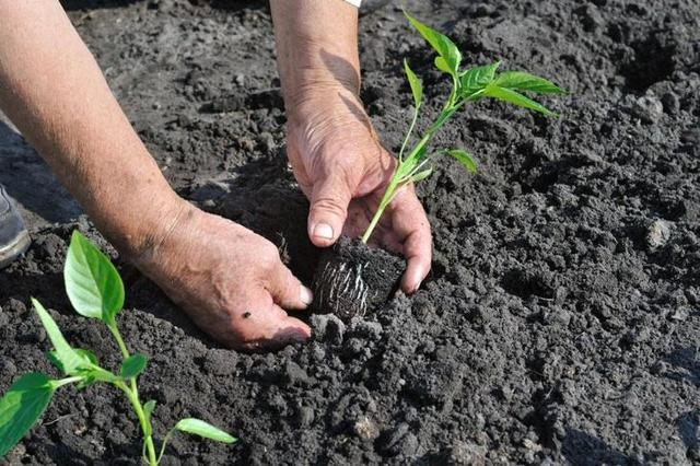 Когда сеять перцы на рассаду в Сибири