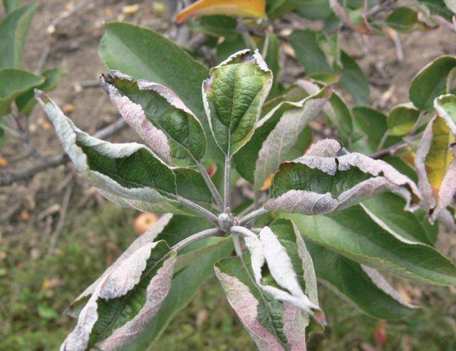 Скрученные листья у груши: фото, почему скручиваются (сворачиваются) в трубочку, чем обработать