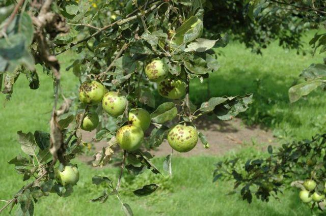 Обработка груши весной и осенью от вредителей: от клеща, от цветоеда, от парши