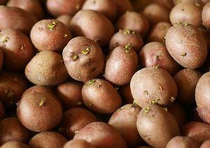 Использование Табу при посадке картофеля