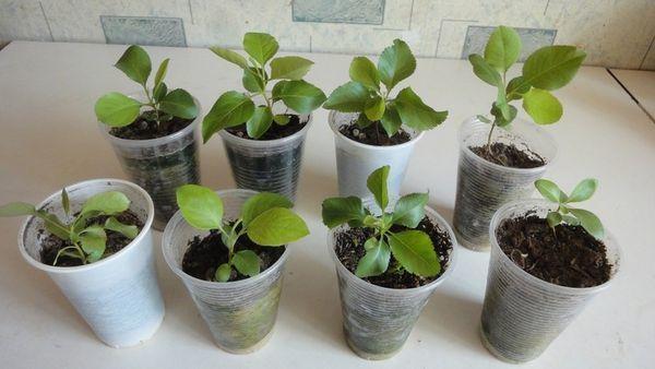 Как вырастить грушу из семечки: особенности выращивания в домашних условиях