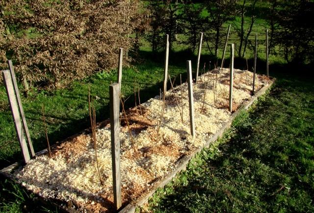 Размножение малины: черенками, корневыми отпрысками, побегами, отводками, семенами