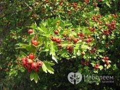 Листья боярышника: полезные свойства и противопоказания, применение