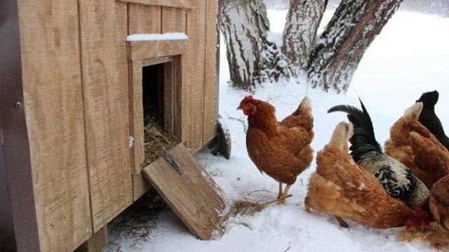Курятник на 10 кур своими руками: зимний, летний, чертежи, размеры, фото и видео