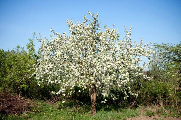Яблоня Звездочка: описание сорта, фото, отзывы, посадка, когда созревает