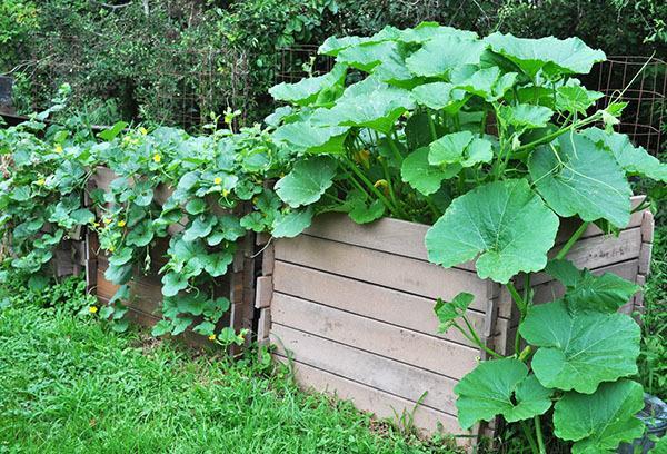 Как вырастить рассаду кабачков и тыквы