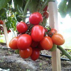 Сорта высокорослых помидор для открытого грунта