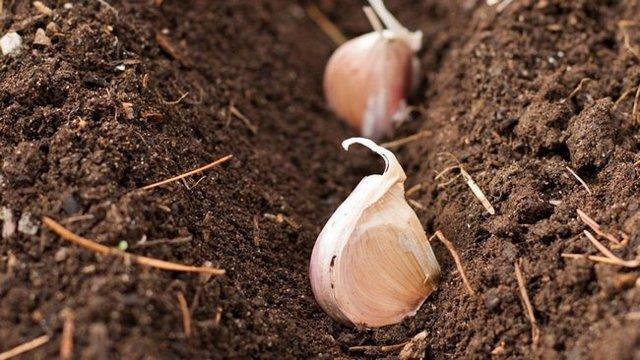 Удобрения для ярового чеснока