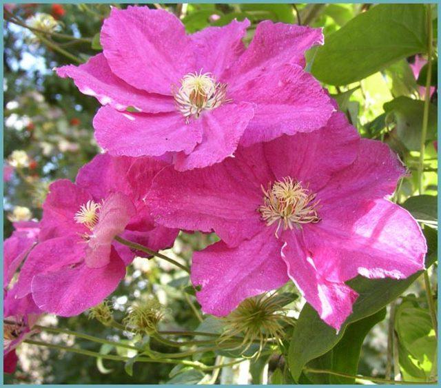 Клематисы: посадка и уход в открытом грунте, когда цветут, фото