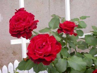 Роза плетистая Дон Жуан (don juan): фото, описание, отзывы