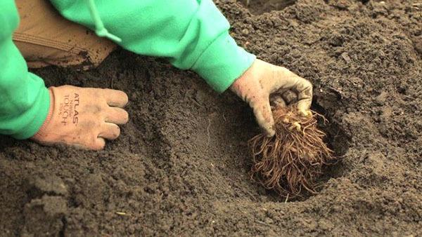 Астильба: посадка и уход в открытом грунте, размножение, фото