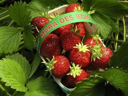 Клубника Искушение: описание сорта, фото, отзывы, выращивание
