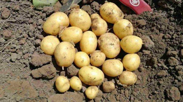 Картофель Сынок: описание сорта, фото, отзывы