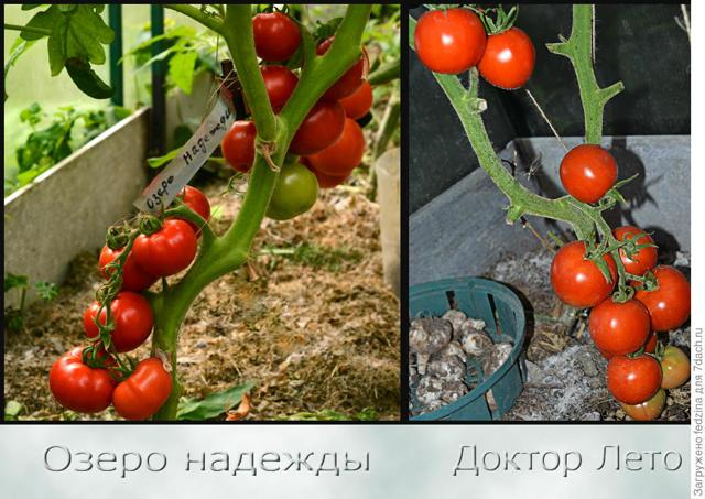 Томат Любовь f1: урожайность, отзывы, фото, описание сорта