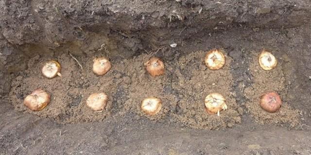 Подготовка луковиц гладиолусов к посадке весной