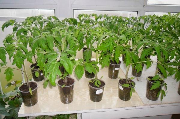 Почему скручиваются листья на рассаде томатов