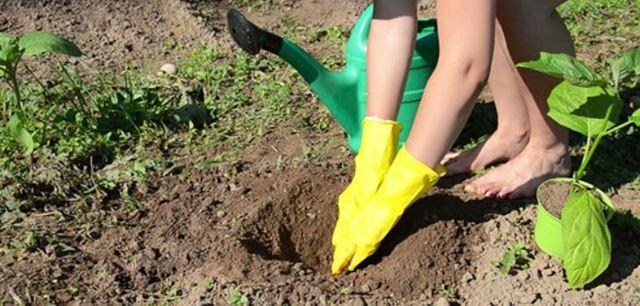 Баклажан Мечта огородника: отзывы, описание, фото