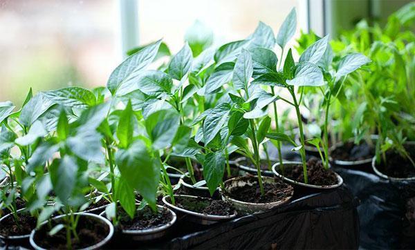 Как правильно посадить перец на рассаду