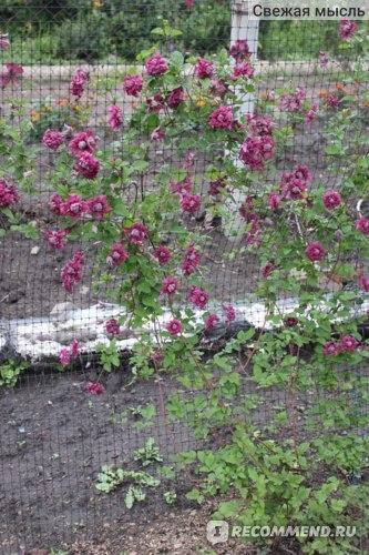 Клематис Пурпуреа Плена Элеганс (purpurea plena elegans): описание сорта, фото, отзывы, группа обрезки
