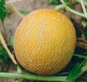 Дыня медовая: сорта, посадка и уход, выращивание