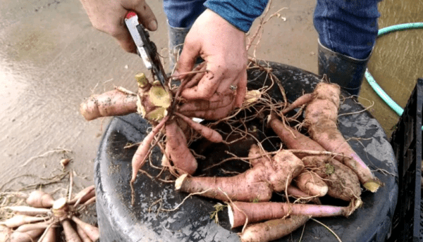 Как правильно хранить георгины зимой в подвале
