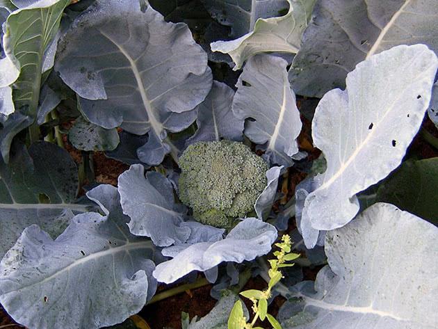 Когда срезать капусту брокколи: уборка и хранение