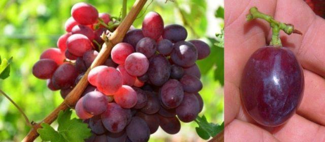 Виноград Памяти Учителя: описание сорта, фото, отзывы