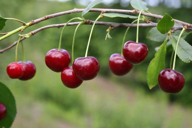 Сезон черешни в России: когда созревает, почему не плодоносит, не цветет, причины, что делать