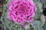 Декоративная капуста: выращивание, посадка и уход