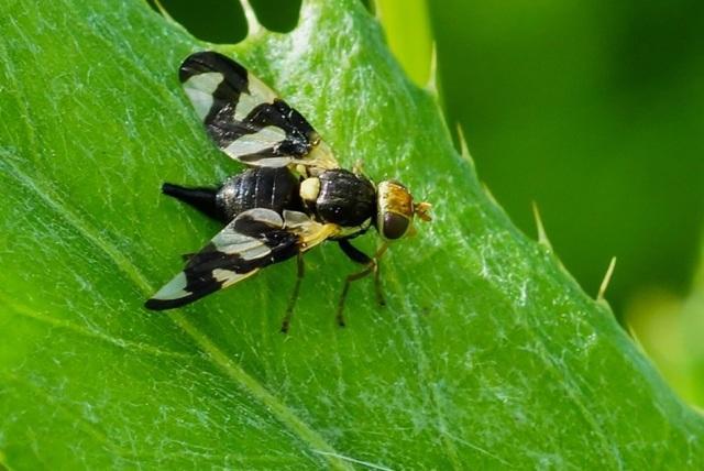 Червяк в черешне: что делать, чем опрыскать, можно ли есть, борьба с вишневой мухой